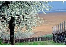 Kirschblütenradweg bei  Purbach am Neusiedlersee