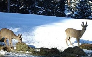 Wildfütterung in Lech