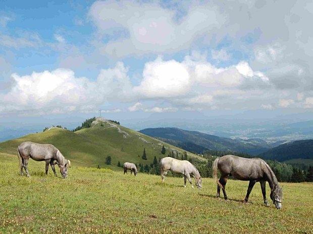 Bundesgestüt Piber - Pferde auf der Alm