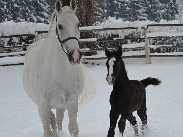 Bundesgestüt Piber - Pferde im Winter