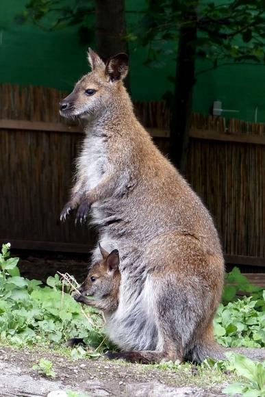 Känguru mit Baby im Beutel