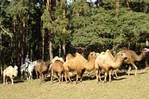 Weiten Kamelreitschule