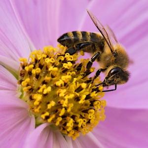 Fleißige Biene bei der Arbeit