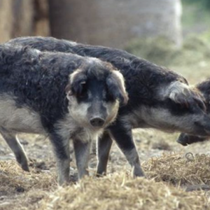 Mangalitzaschweingehege